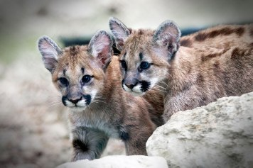 Cougar-Cubs-Finished-Product